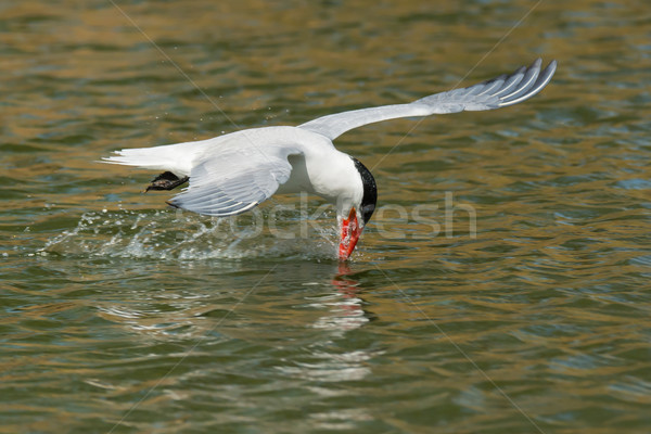 Caspian Tern with its head too far back learning to drink while  Stock photo © davemontreuil