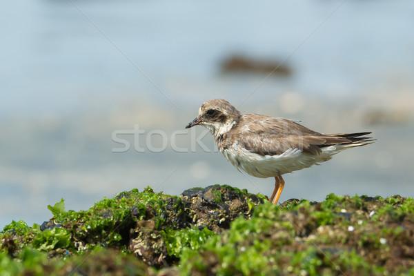 áll hínár fedett kövek tengerpart természet Stock fotó © davemontreuil