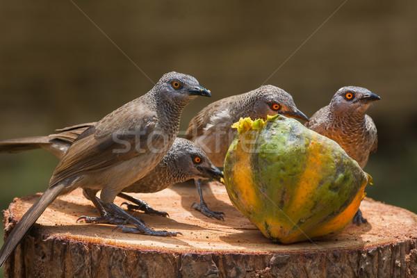 Brown Babbler family investigating a papaya Stock photo © davemontreuil