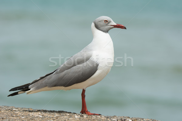 A Grey-Headed Gull (Larus cirrocephalus) standing in profile Stock photo © davemontreuil