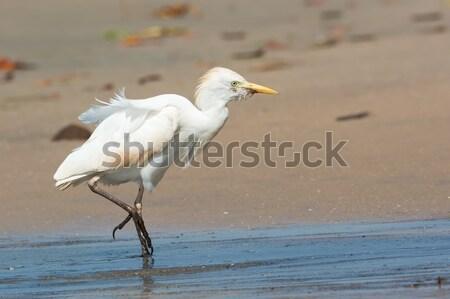Beyaz batı balıkçıl taze su doğa Stok fotoğraf © davemontreuil