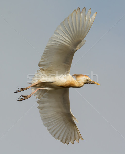 A scruffy Cattle Egret (Bubulcus ibis) showing its underside in  Stock photo © davemontreuil