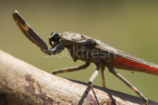 Water Scorpion from West Africa Stock photo © davemontreuil