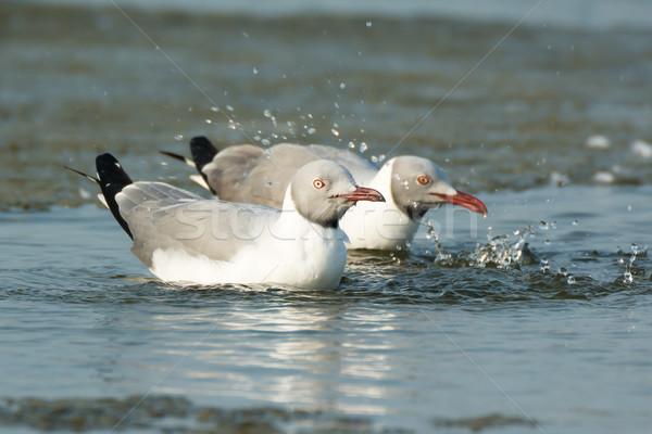 Two Grey-Headed Gulls splashing in water Stock photo © davemontreuil