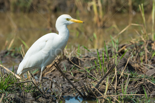Cattle Egret standing walking through the marsh Stock photo © davemontreuil