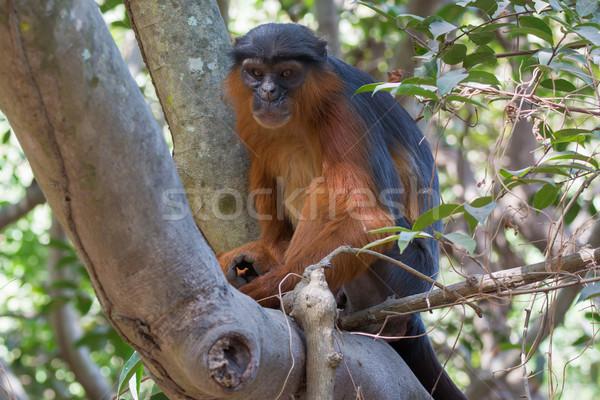 Mannelijke westerse Rood aap groot triest Stockfoto © davemontreuil