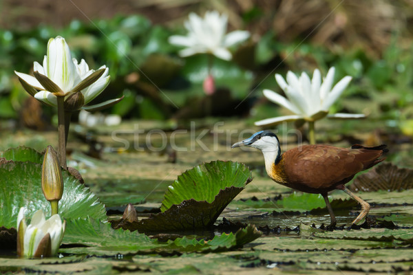 African Jacana walking on lily pads with white lilies Stock photo © davemontreuil