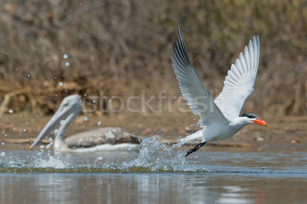 Caspian Tern taking to the air after a dive with pelican watchin Stock photo © davemontreuil