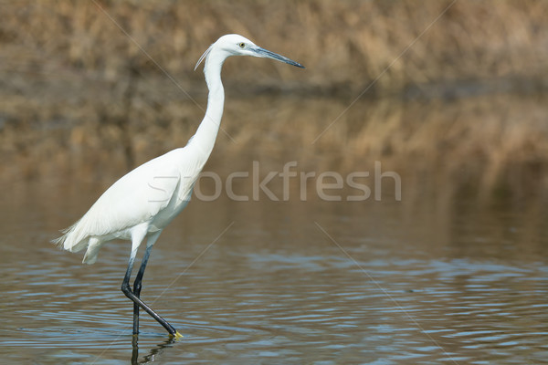 A white Western Reef Heron (Egretta gularis) walking in the mang Stock photo © davemontreuil