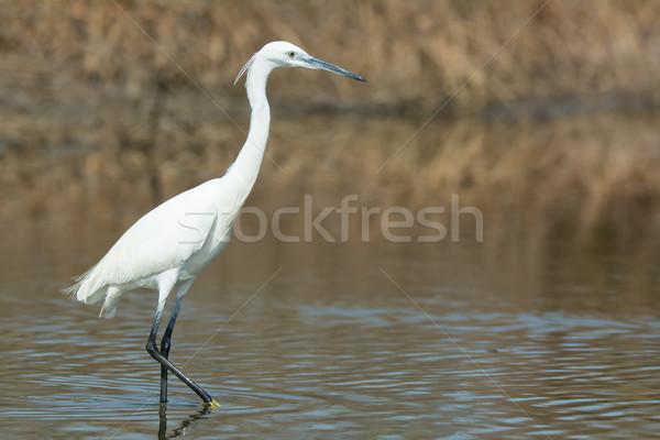 Beyaz batı balıkçıl yürüyüş doğa kuş Stok fotoğraf © davemontreuil