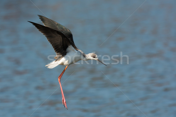 Black-winged Stilt (Himantopus himantopus) in mid flight or hop Stock photo © davemontreuil