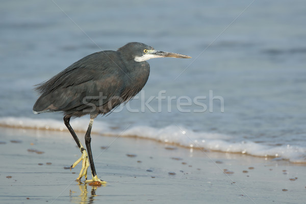 Westerse reiger lopen strand water Blauw Stockfoto © davemontreuil