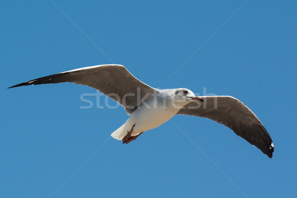 Young Grey-Headed Gull floating on the wind Stock photo © davemontreuil