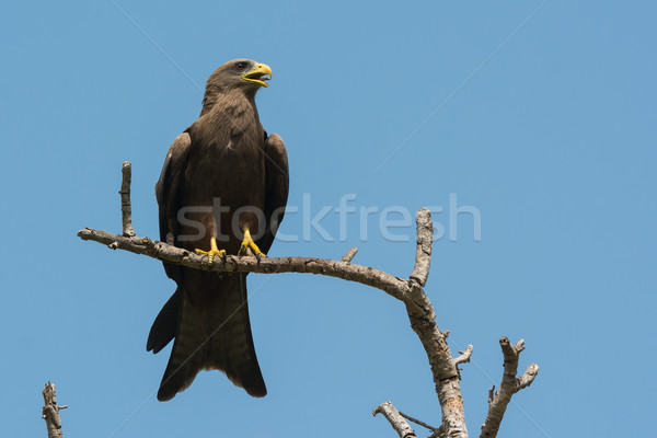 Black Kite (Milvus migrans) crying with tongue showing Stock photo © davemontreuil