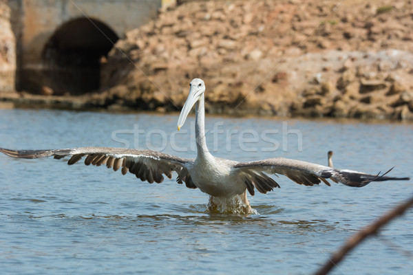 Pink-backed Pelican with huge wingspan lunging for fish Stock photo © davemontreuil