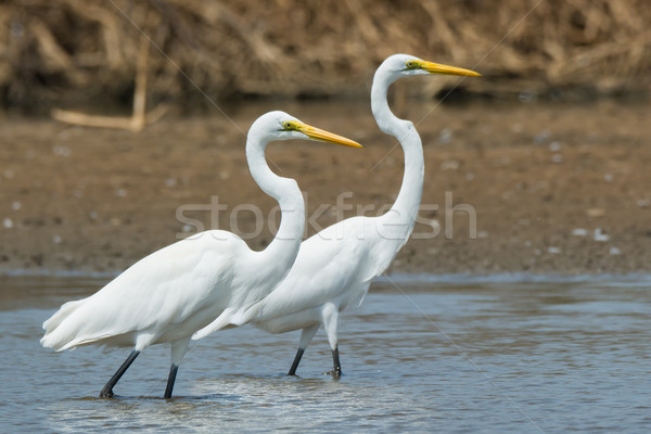 Two Great White Egrets in profile Stock photo © davemontreuil