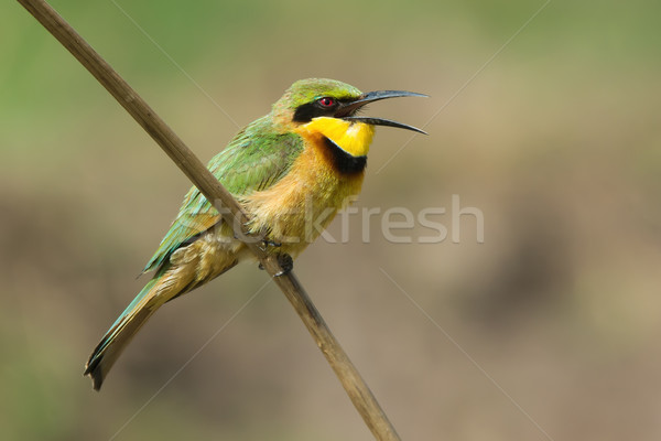 A Little-Bee Eater (Merops pusillus) with its mouth open Stock photo © davemontreuil