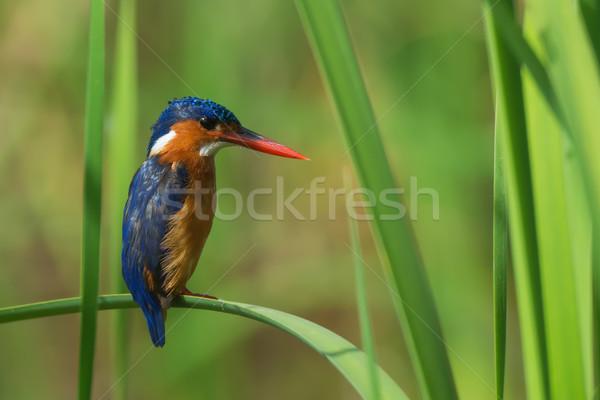 Malaquita martim-pescador laranja pássaro África legal Foto stock © davemontreuil