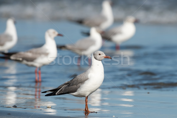 A group of Grey-Headed Gulls (Larus cirrocephalus) standing on t Stock photo © davemontreuil