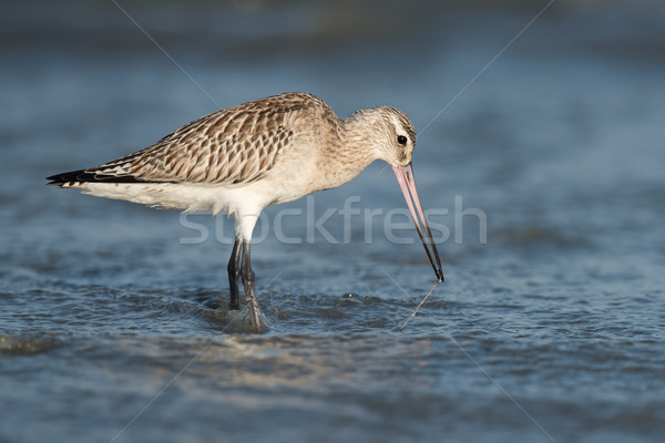 Bar-tailed Godwit (Limosa lapponica) pulling a worm out from bel Stock photo © davemontreuil