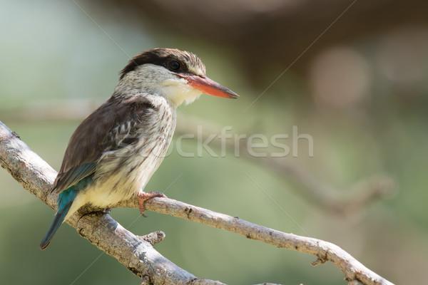 Gestreift Eisvogel Zweig Natur Vogel Afrika Stock foto © davemontreuil