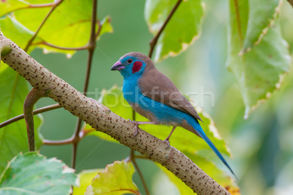 Red-Cheeked Cordon-Bleu Stock photo © davemontreuil