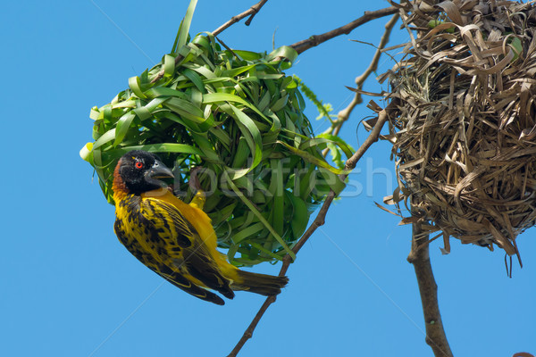 Male Village Weaver pauses while building new nest Stock photo © davemontreuil
