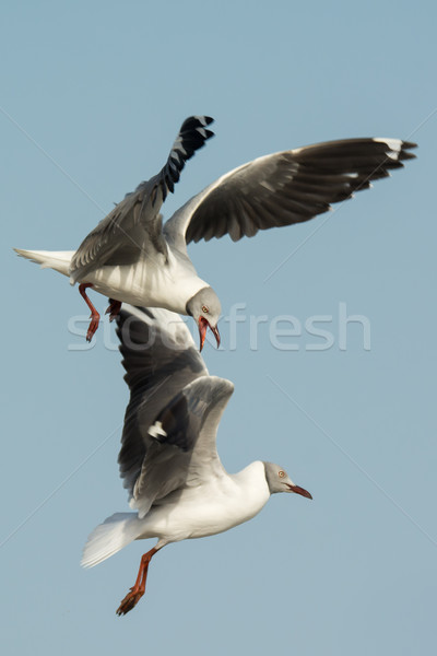 Grey-Headed Gulls fighting in mid-air Stock photo © davemontreuil