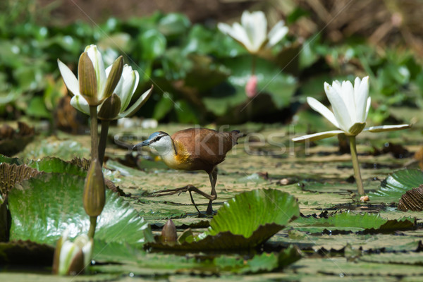 African Jacana sneaking across a lily pad strewn pond Stock photo © davemontreuil