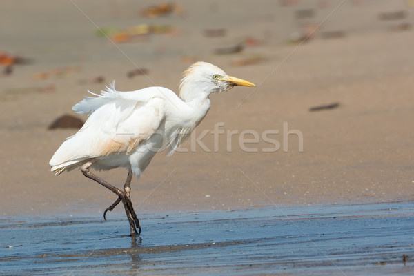 Gado caminhada para cima praia velho ventoso Foto stock © davemontreuil