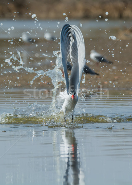 Caspian Tern with wings straight up after a dive Stock photo © davemontreuil