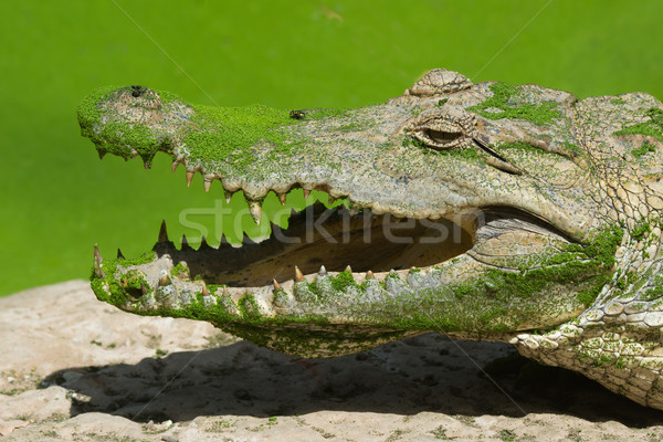 West African Crocodile with duckweed and a fly Stock photo © davemontreuil