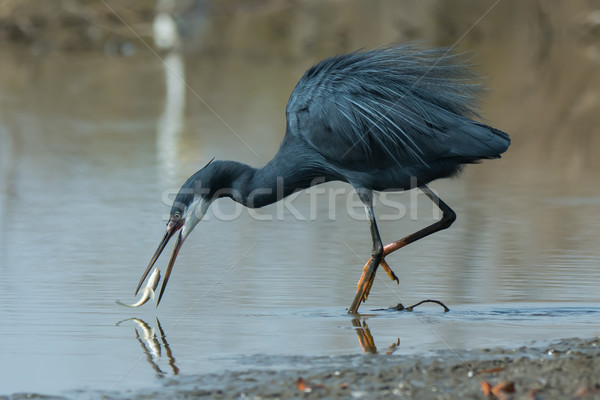 A Western Reef Heron (Egretta gularis) trying to catch a slipper Stock photo © davemontreuil
