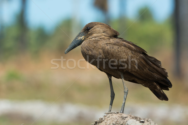 A Hamerkop (Scopus umbretta) standing on a small rise Stock photo © davemontreuil