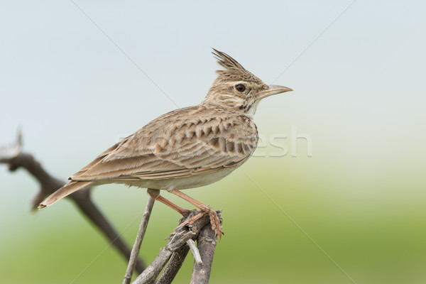 A Crested Lark (Galerida cristata) on an exposed perch Stock photo © davemontreuil