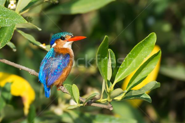 Malaquita martim-pescador pássaro África legal belo Foto stock © davemontreuil