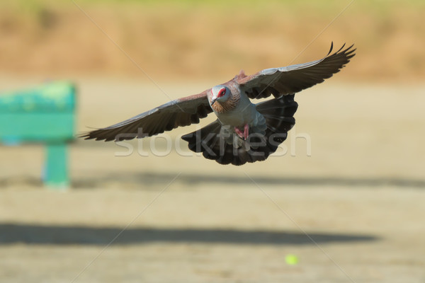 Stock photo: Speckled Pigeon (Columba Guinea) in Flight