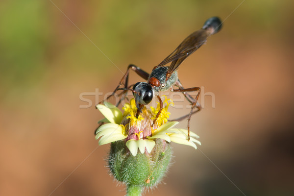 Thread-waisted Wasp (Amnophila sp) Stock photo © davemontreuil