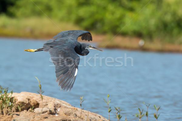 западной цапля полет острове воды синий Сток-фото © davemontreuil