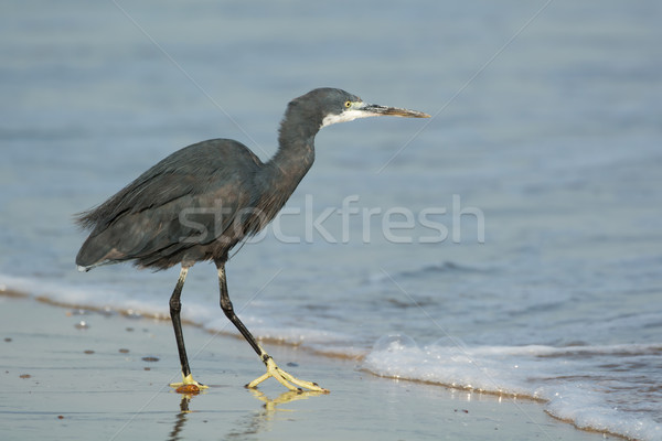 Westerse reiger water Blauw zand surfen Stockfoto © davemontreuil