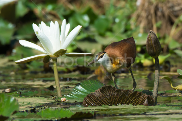 Young African Jacana crouching beside a white lily flower Stock photo © davemontreuil