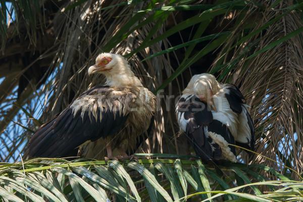 Kettő pálmafa ül pálma madár takarítás Stock fotó © davemontreuil