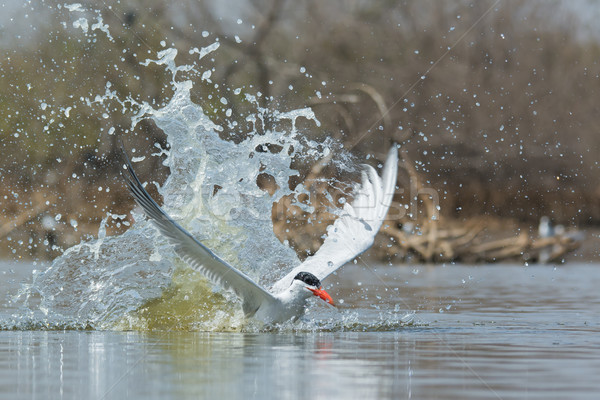 Caspian Tern emerging from a splash after impact Stock photo © davemontreuil