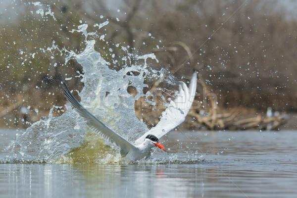 Csobbanás víz madár Afrika hideg cseppek Stock fotó © davemontreuil
