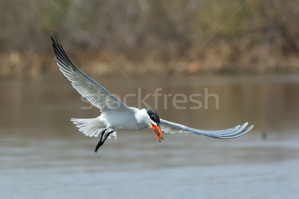Caspian Tern in flight with fish  Stock photo © davemontreuil