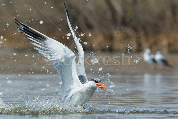 Caspian Tern resurfacing with a fish after a successful dive Stock photo © davemontreuil