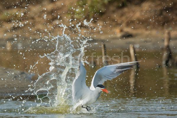 Foto stock: Salpico · água · natureza · pássaro · diversão