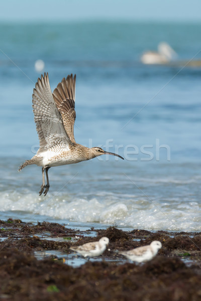A Whimbrel (Numenius Phaeopus) on take off at the beach Stock photo © davemontreuil