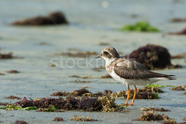 Ringed Plover (Charadrius hiaticula) looking out over the seawee Stock photo © davemontreuil