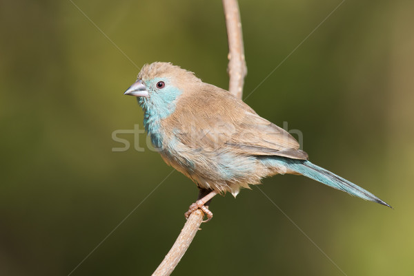 Female Blue waxbill (Uraeginthus angolensis) perched on a branch Stock photo © davemontreuil